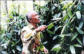 An Indonesian farmer inspects his crops. Through groups like ForesTrade, indigenous spice producers are encouraged to practice sustainable agricultural methods. ForesTrade