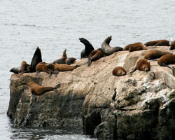 California Sea Lions Starving