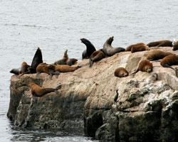 California Sea Lions Starving