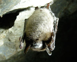 Losing Bats to White Nose Syndrome