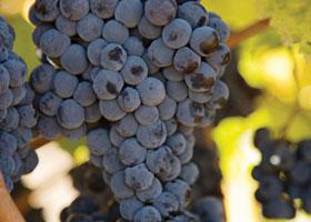greener wine
