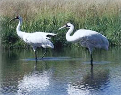 Whooping Cranes Come Back, But Still Not Safe