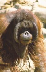 Losing the Orangutan