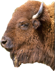 Montana Lifts 15-Year Ban on Bison Hunting