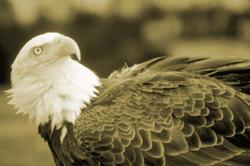 Bald Eagle Delisting Finally Finalized