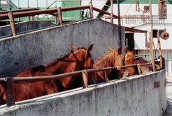 The Killing Floor Three Slaughterhouses Marked the End of the Road for 88,000 American Horses in 2005. But It's Europeans Who Are Eating the Meat.