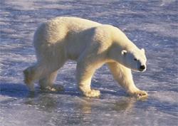 Congress Approves U.S.-Russia Treaty to Protect Polar Bears