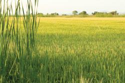 Reforming Rice: Lundberg's Greener Farms