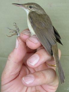 Long Lost Warbler Rediscovered in Thailand