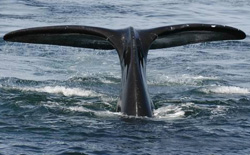 COMMENTARY: New Steps to Save Right Whales