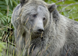 Yellowstone Grizzlies May Lose Protection