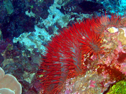 Reef Invader: The Crown of Thorns Starfish  Corals reefs are dying at an unprecedented rate, due in large part to a brightly colored predatory invader.