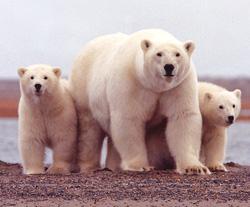 Can Popularity Save the Polar Bear?