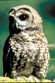 Fed Wants to Allow Logging in Owl Habitat