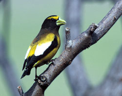 Common American Birds in Steep Decline