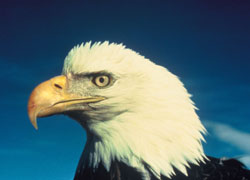 Bald Eagle Taken Off Endangered Species List