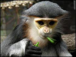 Endangered Primates Discovered in Remote Vietnam Jungle