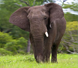 COMMENTARY: The Plight of the Elephant