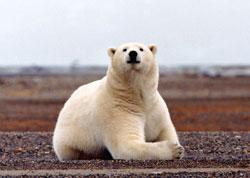 The Polar Bear Challenge