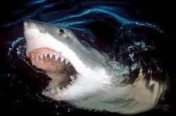 sharks' width=