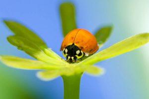 ladybug mystery, credit: Diego Langellotti, FlickrCC