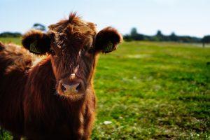 cow burps