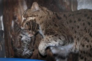 fishing cats gene pollution