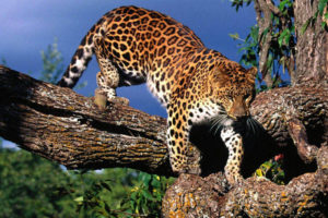 amur leopard 300x200 8 Newly Endangered Species Added to IUCN Red List