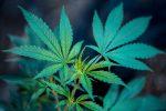 eco-friendly marijuana