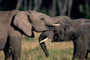 Elephant Populations Stable