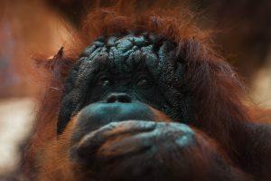 Orangutan. Photo by Francesco De tommaso from Pexels