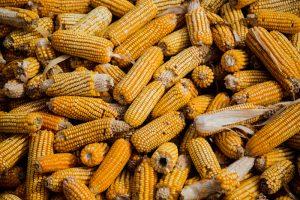 corn 300x200 The Environmental Impact of Corn