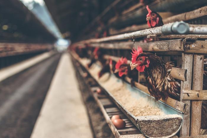 factory farms worse