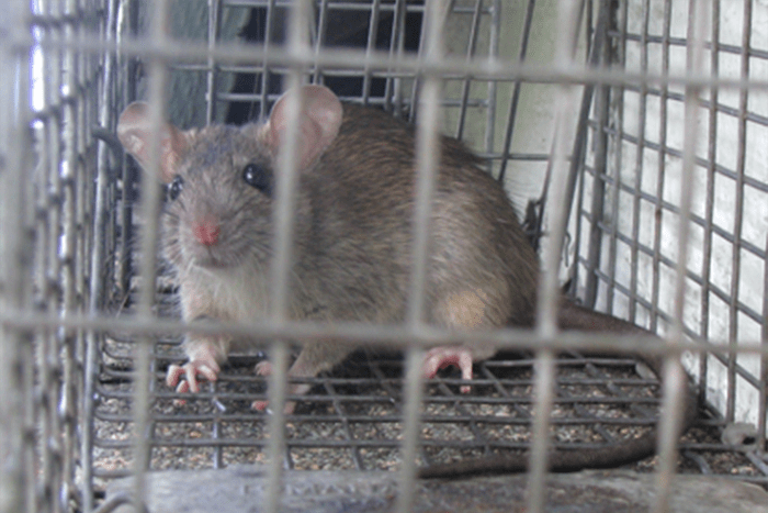 Poison Free Ways to Get Rid of Rodents