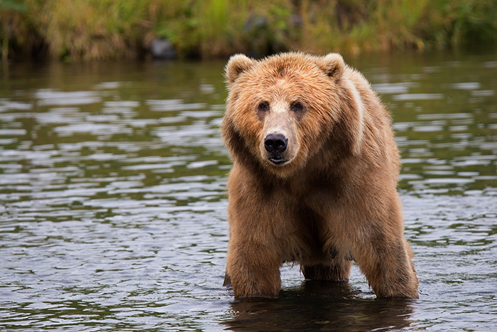 grizzly bear recovery. Credit: Pixabay