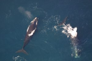 Atlantic Right Whales On The Ropes: Is Lobstering The Problem?