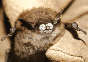 White Nose Syndrome Is Killing Bats and Poses a Major Financial Burden and Environmental Threat