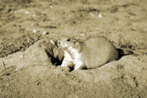 High Plains Stewards: Burrowing Into the Mythology about Prairie Dogs