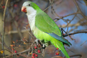 Pests or Pets? The Battle to Save Monk Parakeets Heats Up