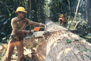 Indonesia's Rainforests on the Chopping Block