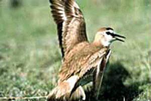 Groups Sue Fish  Wildlife Over Lack of Mountain Plover Protections