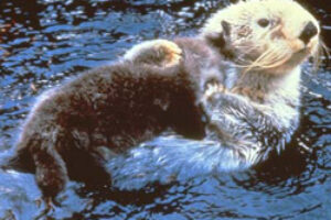 Greens Call on Feds to Protect Threatened Sea Otter Habitat in Alaska