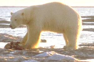 White House Calls for Threatened Listing for Polar Bears