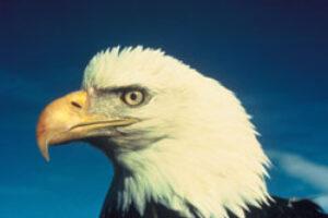 Bald Eagle Taken Off Endangered Species List
