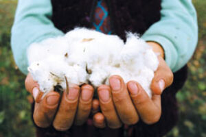 Fashion Victims Conventional Cotton is Taking a Heavy Toll on the Planet, but the Organic Market is Growing